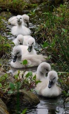 Cygnets (Swans).  Fluffy little lovelies.