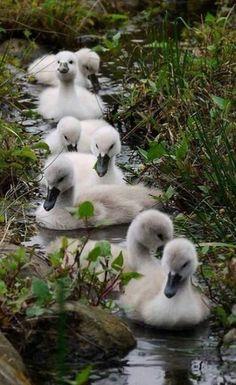 Cygnets (Swans). °