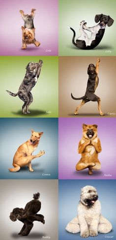 I love yoga dogs :)