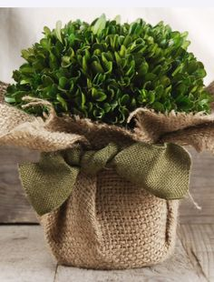 "Preserved Boxwood Arrangement $29 7"" wide x 8"" tall natural preserved boxwood, clay pot, natural burlap and ribbon tie"