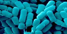 Helpful Bacteria Lactobacillus reuteri