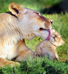 Bath time, lion cub
