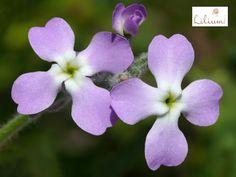 LAS MEJORES FLORES A DOMICILIO. ¿Conoce la flor de Matiola? Esta peculiar planta proviene del sur de Europa, existen dos variedades, una se planta en primavera en el mes de marzo y florece en verano y por otro lado, existen variedades que se siembran en junio y julio y florecen hasta la primavera del año siguiente. Gracias a su colorido, brindan hermosos espectáculos en verano. En Lilium elaboramos hermosos diseños florales con distintas flores exóticas. Le invitamos a conocer nuestras…