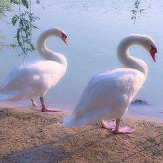 Swans by a lake by sanjayssv