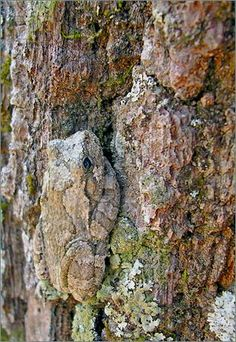 Picture of A gray tree frog blends into the bark of an oak tree, hiding in plain view.