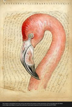 n°36-flamant rose, drawing by Marcello Pettineo