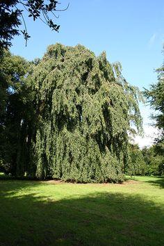Fagus sylvatica 'Pendula' (Weeping European beech tree)