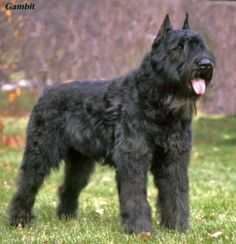 Bouvier des Flandres. These dogs are sooo good. Love them
