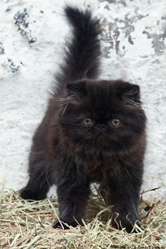 "Persian Cat Shorthaired only-cutest-kittens:"" Long haired black kitten"" - Pretty Cats, Beautiful Cats, Animals Beautiful, Cute Cats And Kittens, Kittens Cutest, Most Popular Cat Breeds, Baby Animals, Cute Animals, Image Chat"