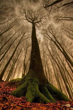 Sycamore trees. I wish that I could credit the photographer. Reminds me of a forest in a fairy tale.