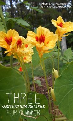 EDIBLE FLOWER – Three Nasturtium Recipes for Summer and tips for harvesting and preservation Edible Wild Plants, Chinese Herbs, Flower Food, Wild Edibles, Spring Salad, Growing Herbs, Edible Flowers, Medicinal Plants, Kraut