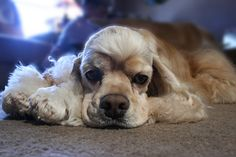 Carson- American Cocker Spaniel by jeeprmedic, via Flickr