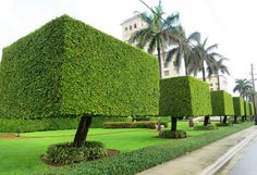 The ficus hedges in Palm Beach are kept perfectly trimmed even during the summer. - The ficus hedges in Palm Beach are kept perfectly trimmed even during the summer off-season. Boxwood Garden, Garden Hedges, Topiary Garden, Garden Trees, Garden Landscape Design, House Landscape, Front House Landscaping, Backyard Landscaping, Amazing Gardens