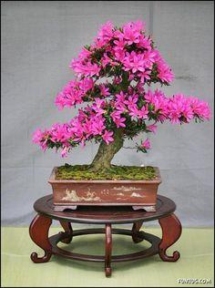 Japanese Bonsai Trees | ... Japanese Bonsai Trees | Azalea, Wisteria, Japanese, Bonsai, Chinese
