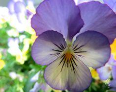 Purple Viola by GodsBeautifulEarth on Etsy