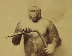 """This stuffed specimen of the Troglodytes Gorilla...was killed near the Gaboon River, in Africa, in the Spring of 1862...The attitude in which he is placed is taken from Du Chaillu's Book of Travels, representing the appearance of one that killed his hunter, whose gun missed fire when endeavoring to shoot the Gorilla. In his rage he killed the hunter with one blow upon his bowels, bent his gun with his hands, and bit thee gun barrel so hard as to leave marks of his teeth upon it."""