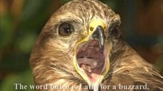 Common buzzard is a world famous Eagle