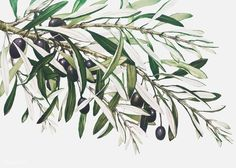 Olive branch on a christmas card Free Vector Christmas Tree With Gifts, Christmas Cards, Olives, Olive Branch Tattoo, Free Birthday Card, Branch Vector, Leaf Illustration, Tattoo Now, Picture Collection