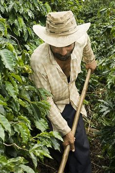 File:Coffee farmer in Brazil.jpg