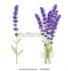 Fresh cut fragrant lavender plant flowers bunch and single 2 realistic icons set isolated vector illustration - buy this stock vector on Shutterstock & find other images.