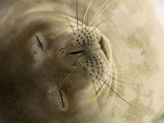 Foca de Weddell durmiendo