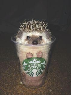 Hedgehog + Starbucks