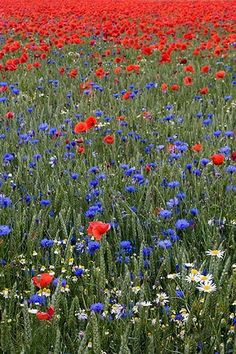 midsommar blommar i Sverige ~Midsummer blossoms in Sweden Sweden, Felder, Summer Feeling, Summer Solstice, Wildflowers, Beautiful World, Champs, Blue Flowers, Mother Nature