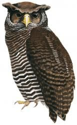 Shelley's Eagle-Owl Bubo shelleyi - Google Search