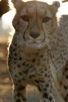 Sweet Conservation, Cheetah, Kangaroo, Cats, Sweet, Animals, Baby Bjorn, Candy, Gatos