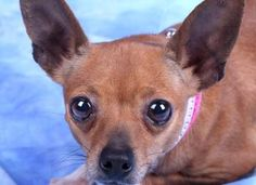 1 / 11     Petango.com – Meet Rosita, a 5 years 6 months Chihuahua, Short Coat available for adoption in COLORADO SPRINGS, CO Contact Information Address  PO Box 88468, COLORADO SPRINGS, CO, 80908  Phone  (719) 445-6787  Website  http://milldogrescue.org  Email  info@milldogrescue.org