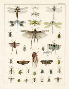 Dragonfly, Cicada from Lorenz Oken Abbildungen Naturgeschichte für alle Stände Prints 1843