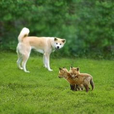Mother dog with Fox kits