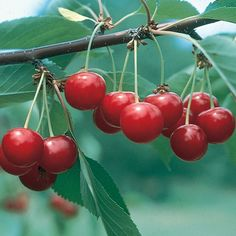 A heavy producer. The number of deliciously tart cherries from one of these trees will amaze you. The fruit is perfect for juice or any number of...