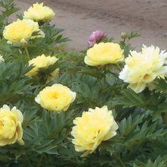 Bartzella Peony | butter yellow peonies