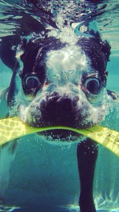 What an awesome picture! Just look at the eyes on that Boston Terrier as he swims under water!
