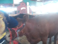 PT 30 JULY 2014 CALDWELL IDAHO CANYON COUNTY FAIR. OUT OF FOCUS COW.