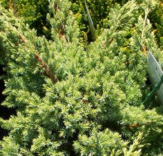 Buy Juniperus squamata Holger online from Jacksons Nurseries Juniperus Squamata, Scale Insects, 10 Tree, Soil Layers, Clay Soil, Heuchera, Types Of Soil, Planting Seeds, Compost