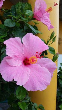 Pink Hibiscus flower.   1000 Tropical Flowers, Hibiscus Flowers, Flowers Nature, Exotic Flowers, Pink Flowers, Love Rose Flower, Blossom Flower, Pretty Flowers, Flower Art