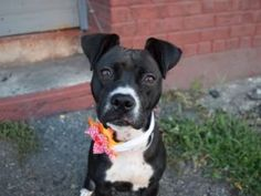 TO BE DESTROYED 09/21/17**ON PUBLIC LIST** 8 MONTH OLD PUPPY..
