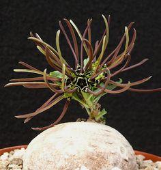 Brachystelma sp.aff. floribundum