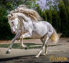 Porte elegante y majestuoso, vigoroso, enérgico y equilibrado y sobre todo, realmente noble. Así son nuestros caballos cartujanos...¡animales de privilegio!! #yeguadacartuja #jerez #cadiz #andalucia #pre #purarazaespañola #cartujano #carthusian #andalusianhorse #horsesofinstagram #lovehorses #instahorse #equine