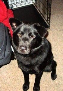 husky black lab mix puppies