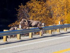 Yes, we see wildlife in the Bitterroot: Bighorn ram jumping the guardrail near Sula, MT