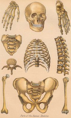 1901 human anatomy illustration