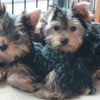 #dogalize Alimentazione del cane yorkshire terrier #dogs #cats #pets