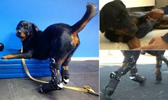 Quadruple amputee Rottweiler named Brutus gets set of prosthetic limbs  http://www.dailymail.co.uk/news/article-3016927/Quadruple-amputee-Rottweiler-named-Brutus-gets-prosthetic-limbs.html