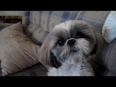Molly Our Singing Shih Tzu - YouTube