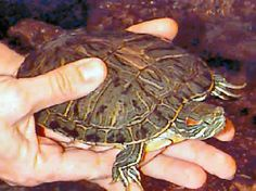 Picture of a Red Eared Slider