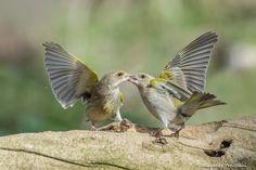 #greenfinch #verdoni