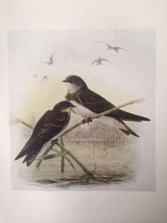 1907 SAND-MARTIN bird antique print, colour, original, vintage by NinskaPrints on Etsy https://www.etsy.com/uk/listing/256190579/1907-sand-martin-bird-antique-print